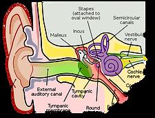 Inner Ear.png
