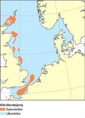 Sild_Nordsjoen.large.jpg