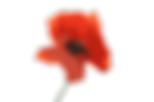 poppy-flower-1131868_1920.png