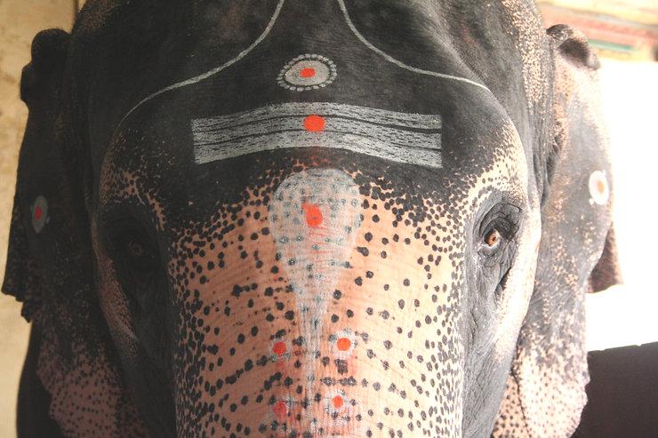 Temple Elephant Trichy India .jpg