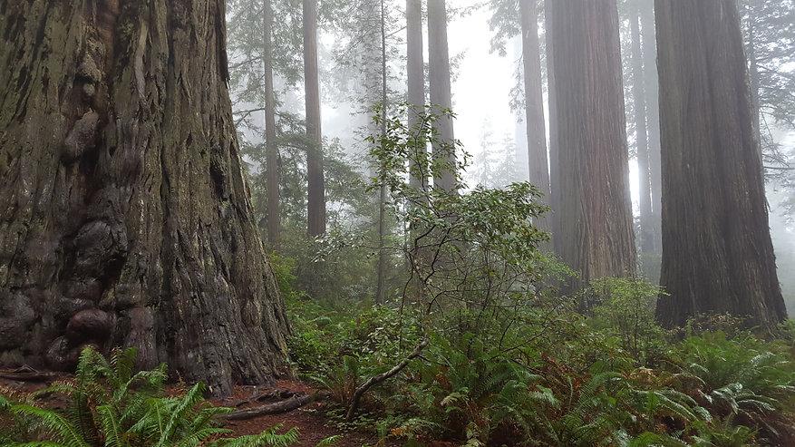 Healing lady-bird-johnson-grove-redwood-