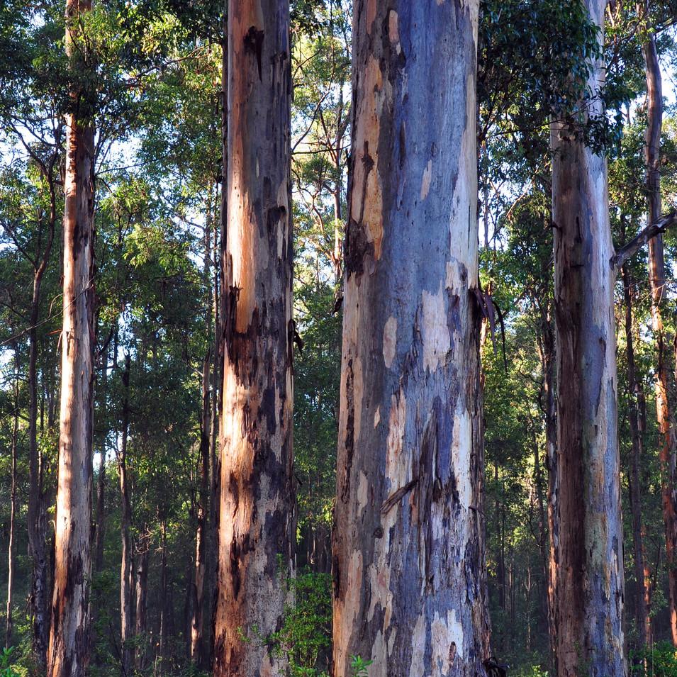 Karri Forest 7149.JPG