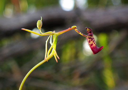Warty Hammer Orchid