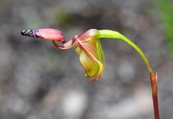 Little Duck Orchid, Paracaleana Disjuncta