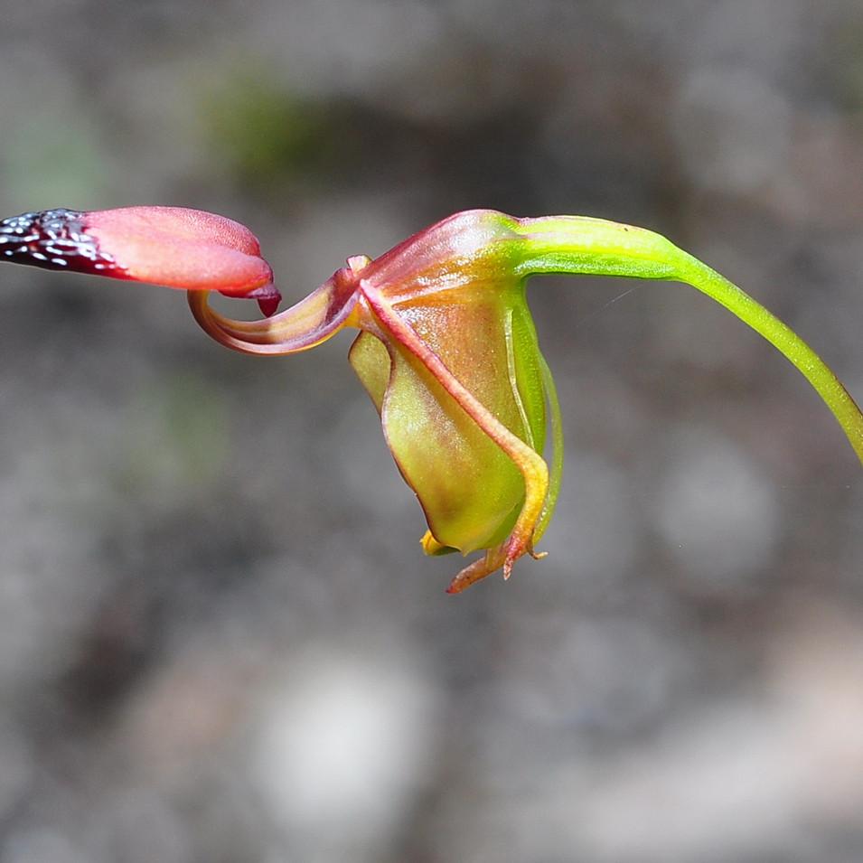 LittleDuck Orchid, Paracaleana disjuncta