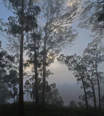 Misty Karri Forest