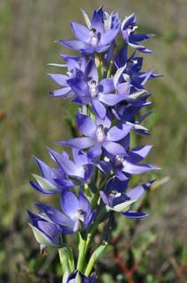 Thelymitra Macrophylla