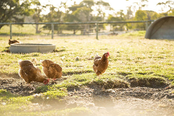 Free range chickens at William Bay Cottages
