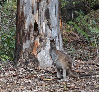 Western Gray Kangaroo – Macropus fuliginosus