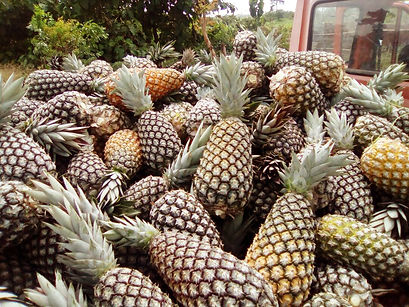 ananas recolte.jpg