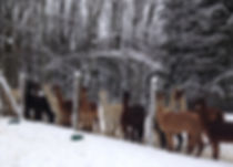 wonderful winter pic with snowon the fence posts with alpacas