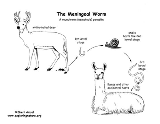 meningeal wormsm.jpg