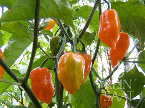 """Chili/Pfefferoni """"Habanero, Orange"""" Bio"""