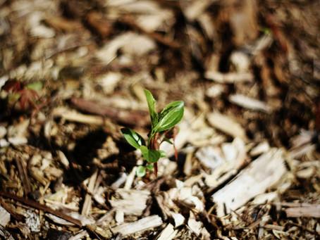 Weniger Wildkraut und mehr Ertrag durch Mulchen im Garten
