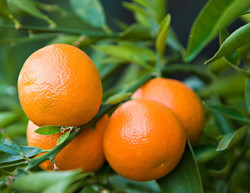 George  Bradbury - clementine.jpeg