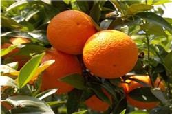 George  Bradbury - citrus_tree_wgijs.jpe