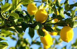 George  Bradbury - Lemon-Trees.jpeg