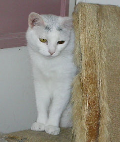 Judy has a sponsor but would like to be adopted from the AFOC no-kill cat shelter.