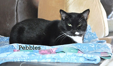 Pebbles the cat lives at the Anima Friends of Connecticut no-kill shelter.
