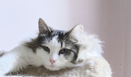 Rufus is a floofy cat sponsored at the AFOC no-kill shelter.