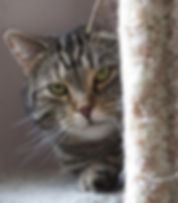 Vixen is a tabby at sponsored at the Animal Friends no-kill shelter.