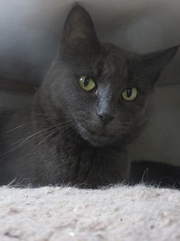 Victor is a lovely grey cat.