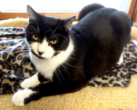 Curtis, a friendly cat to adopt from the Animal Friends of Connecticut No-Kill Shelter