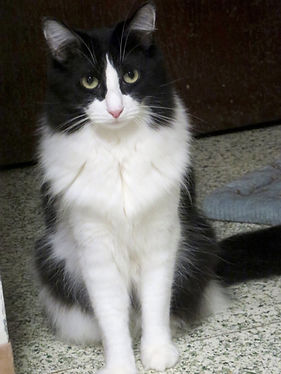 Duff is a nice tuxedo cat being sponsored at the AFOC no-kill shelter.