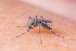 Pernilongo Zika Virus