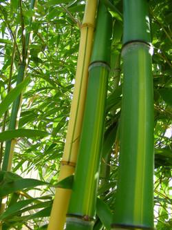 Bambou-gant-3--Les-Jardins-de-Lornay-Con