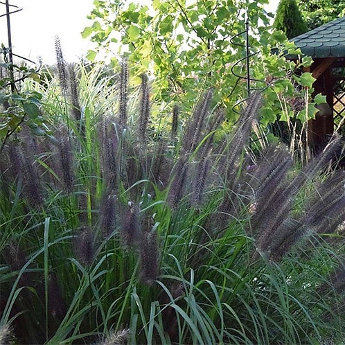 Pennisetum Black Beauty