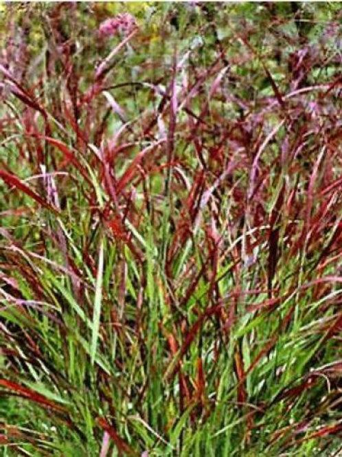 Panicum Rotstrahlbusch