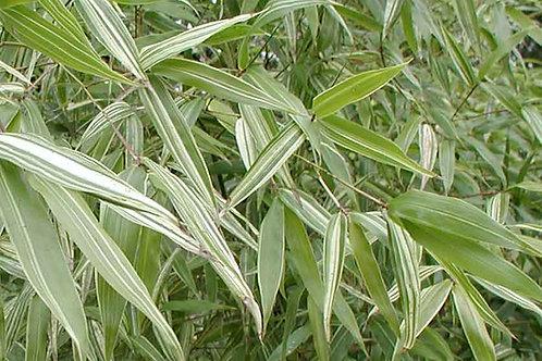 Phyllostachys aurea albovariegata