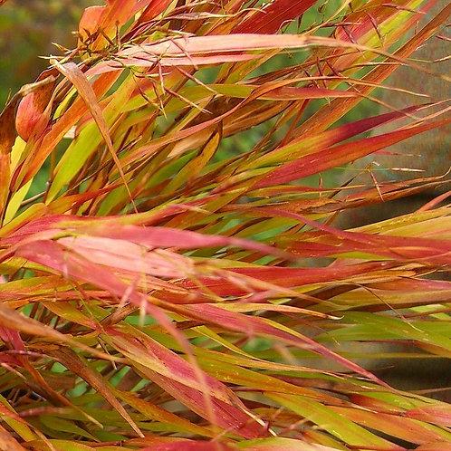 Hakonechloa macra Nicolas (herbe du Japon)