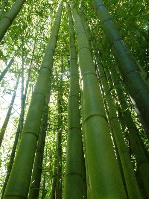 Phyllostachys bambusoides (type)