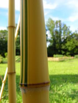 Bambou_géant_1_©_Les_Jardins_de_Lornay.J