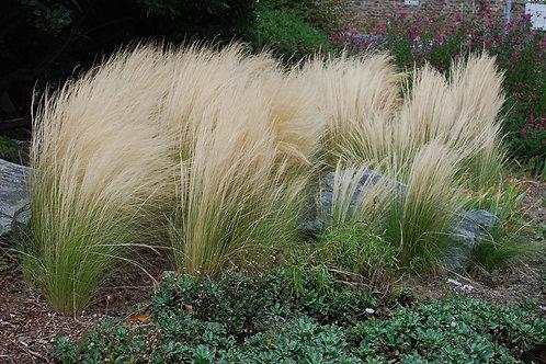 Cheveux d'ange (stipa tenuifolia)