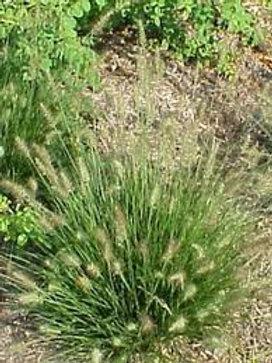 Pennisetum little bunny