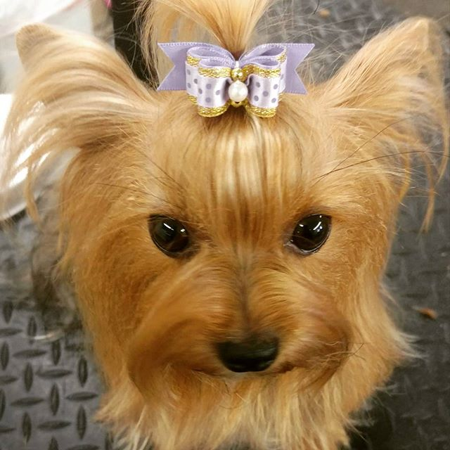 Sassy Pants 😋 #yorkshireterrier #yorkie #yorkiesofinstagram #dorkie #sassy #beautiful #thoseeyes #b