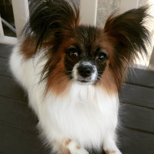 #papillon#adorable#grooming