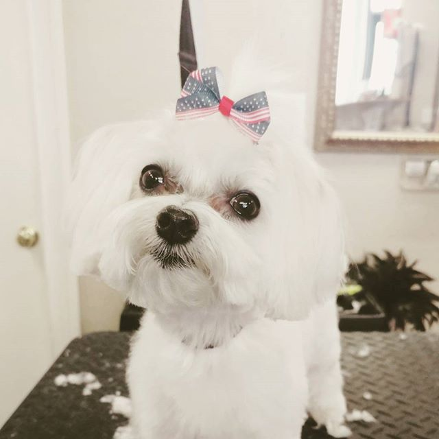 Jazzy showing off her topknot🇺🇸🇨🇱🐾 #maltese#dog#adorable#grooming#groomer#petgrooming#amarillo#