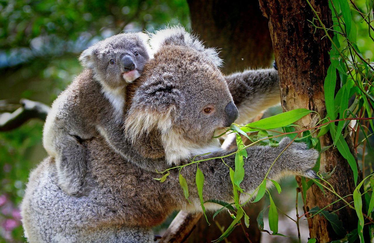 Tout sur les Marsupiaux
