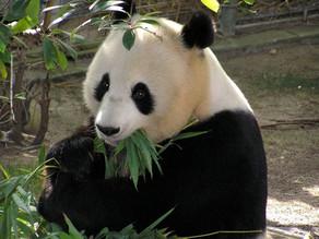 Les jolis pandas de Marie et Joud