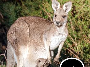 Tout savoir sur les Marsupiaux