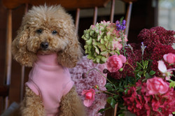Pixie Poodle