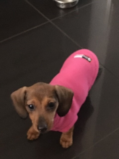 Puppy's first jumper