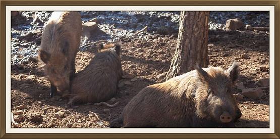 Javalis no Parque Biológico de Vinhais