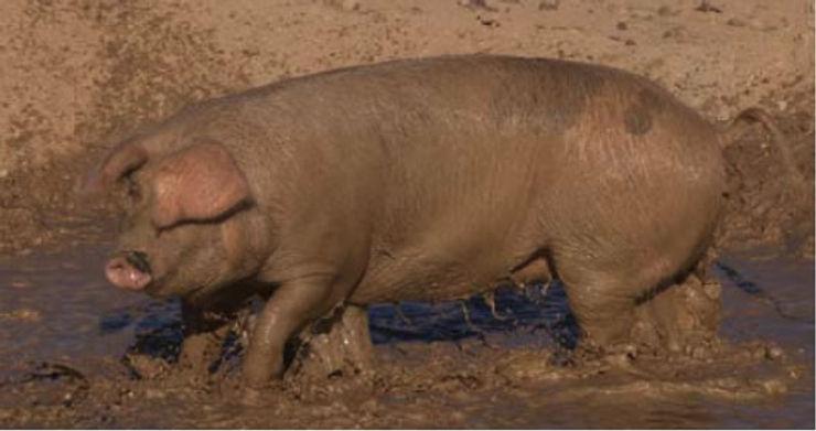 O Verdadeiro Porco