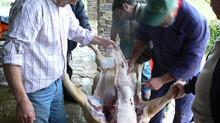 A matança do porco volta a ser autorizada
