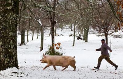 A matança do porco